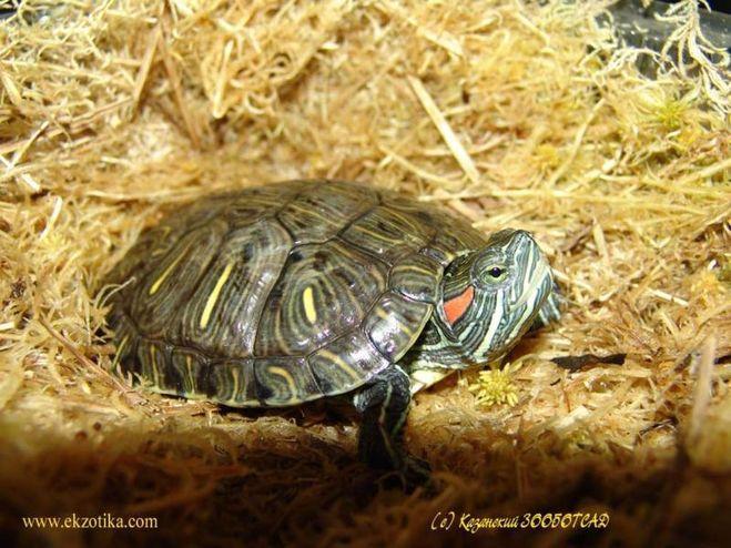Красноухая черепаха трясет передними лапами
