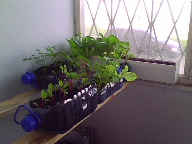 Выращивание зелени летом на балконе 67