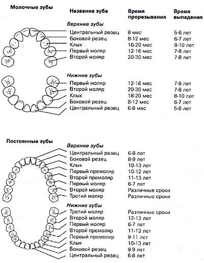 Схема смены молочных зубов и возраст