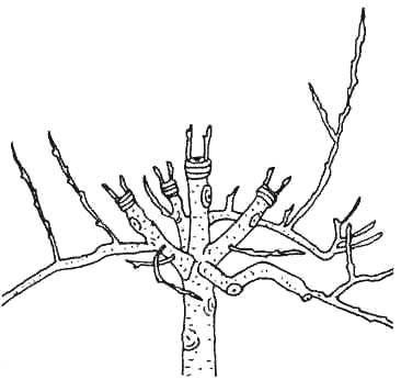 Как сажать штамбовые деревья 87